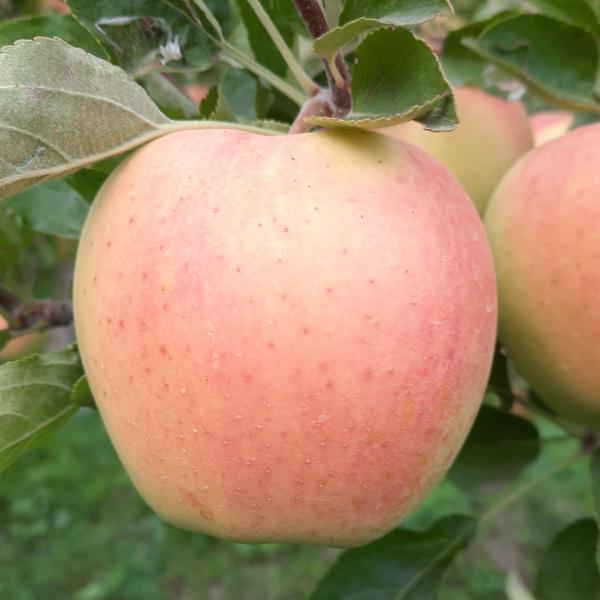 روستای زنوزق-محصول سیب
