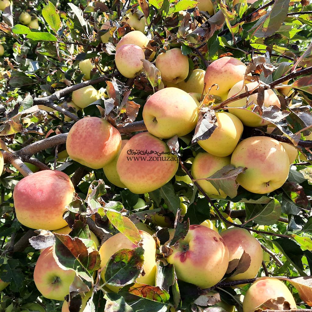روستای زنوزق-محصول سیب 1