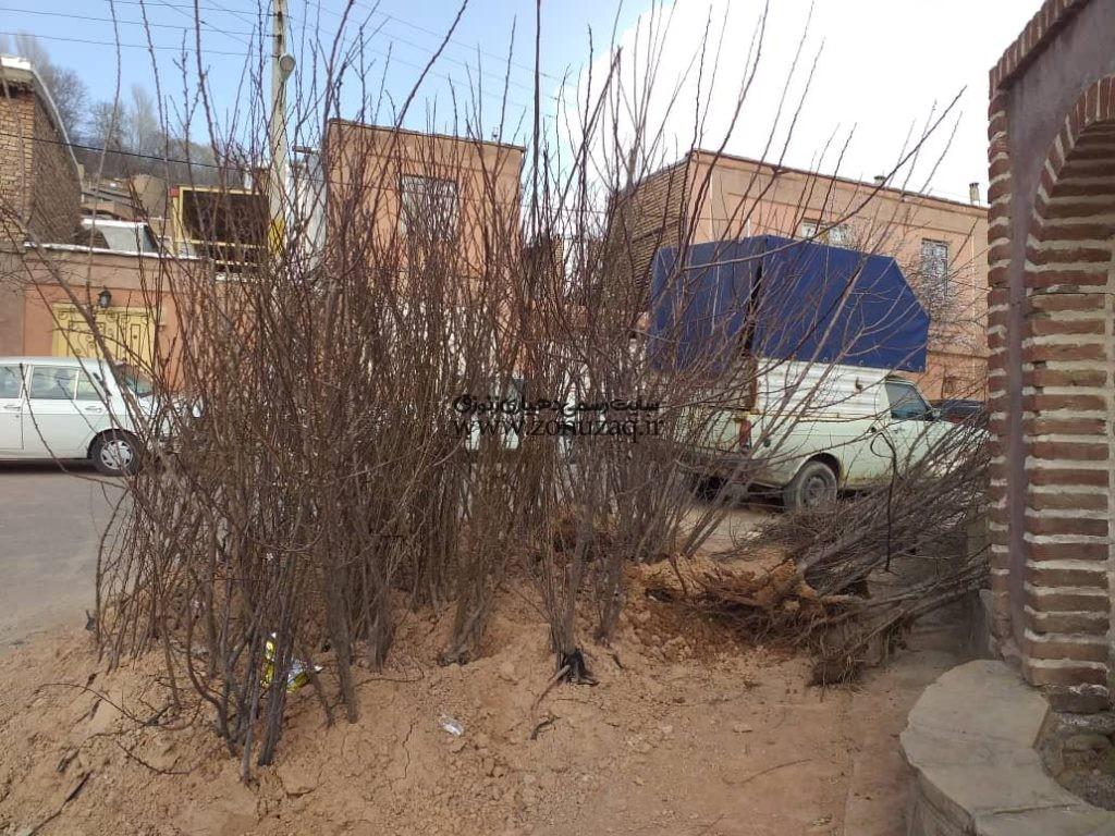 کاشت نهال در امتداد خیابان اصلی میدان روستا با مساعدت جوانان تعدادی از نهالها را آقای ربی ودادی احسان نمودند.